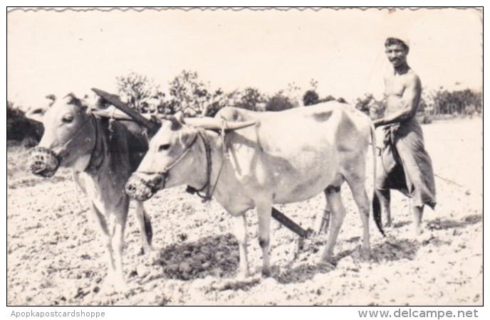 Pakistan Ploughman With Ox Of Kala Haji Chittagong East Pakistan Real Photo - Pakistan
