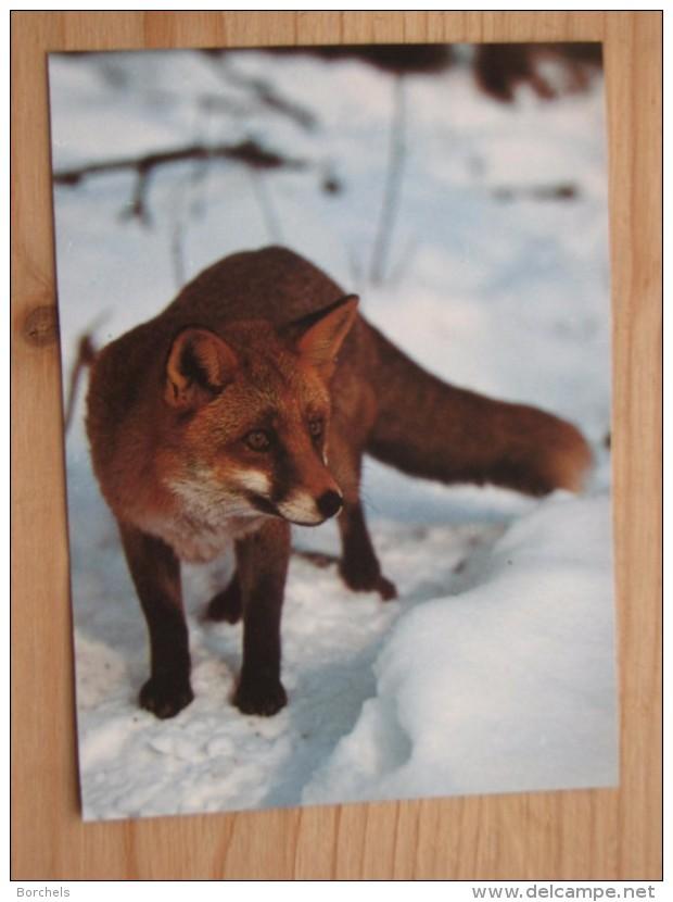 AK1042 - Fuchs Im Schnee - Foto Reinhard -   Ungelaufen - Topp Erhalten - Sonstige