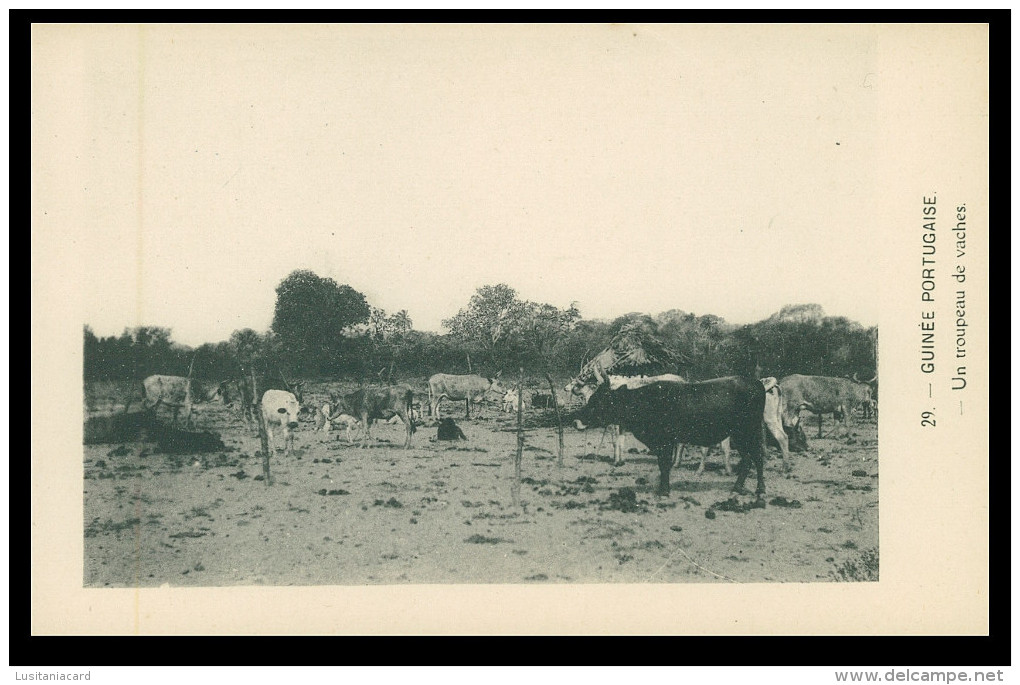 GUINÉ-BISSAU - Un Troupeau De Vaches  ( Nº 29)  Carte PostalE - Guinea-Bissau