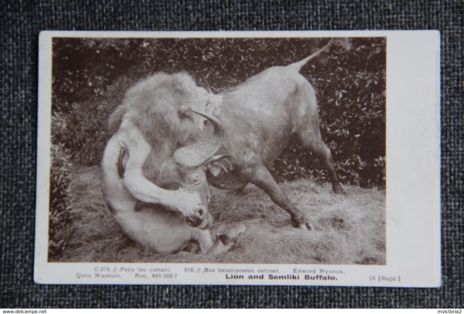 Combat Entre Un Lion Et Un Buffle - Lions