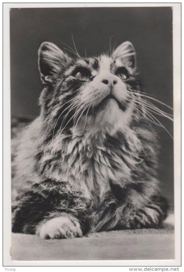 THEME CHAT - CARTE PHOTO SEMI MODERNE - CHAT EN GROS PLAN - VOIR LE SCANNER - Katten