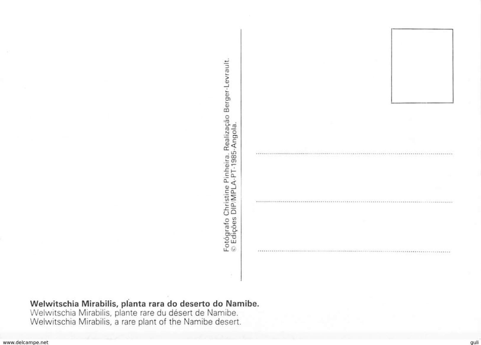 Afrique > ANGOLA-  Welwitschia Mirabilis Planta Rara Do Deserto Do Namibe, Plante Rare *PRIX FIXE - Angola