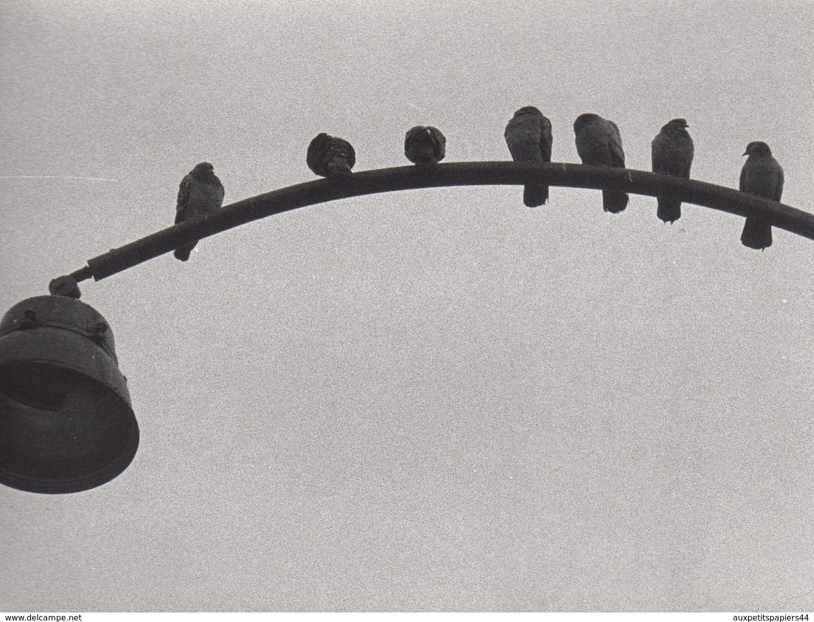 3 Grandes Photos Originales Animaux - Oiseaux - Mouette Bretonne - Coq Et Poules De Basse-cour & Moineaux Sur Réverbère - Anonymous Persons