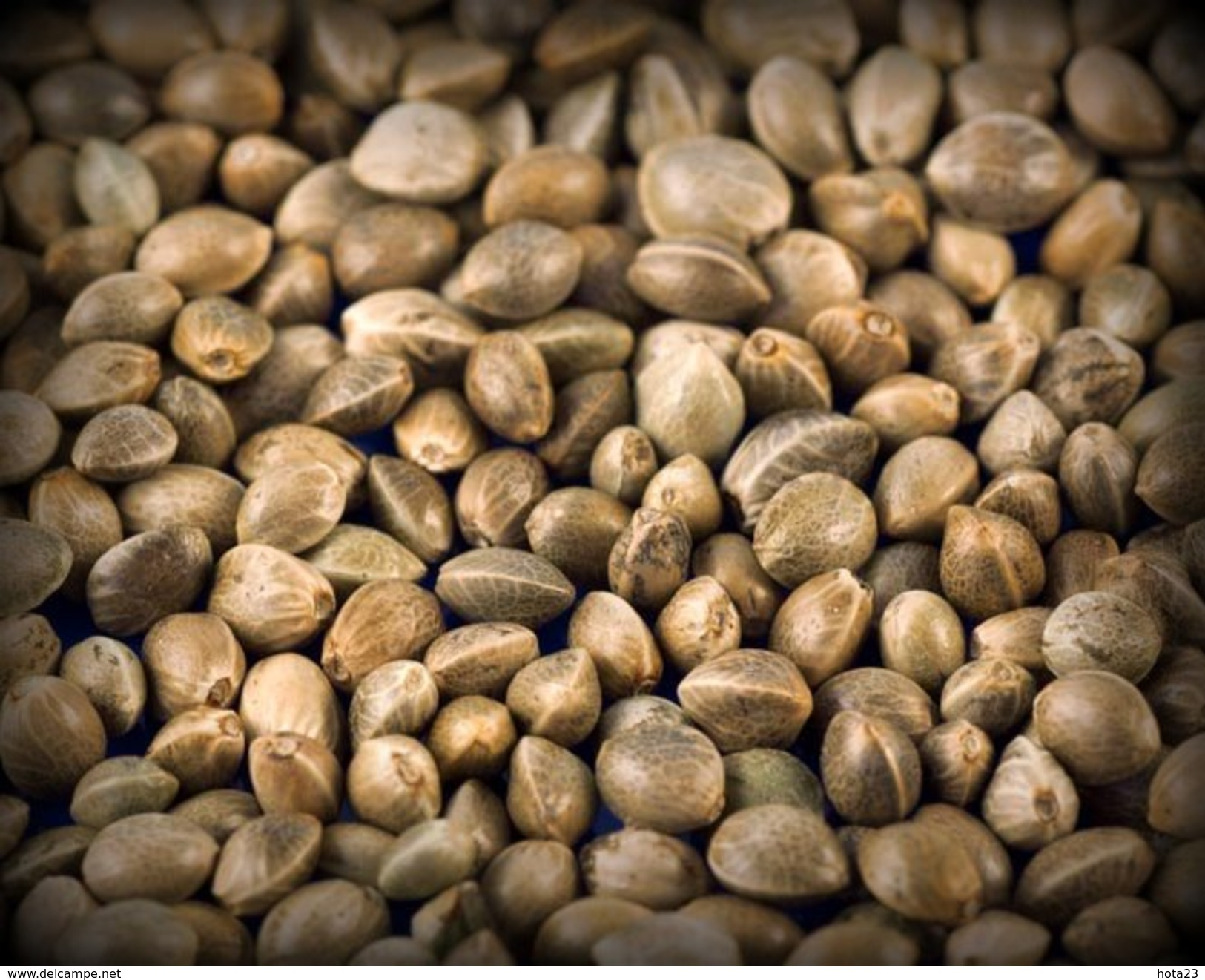 Hemp RAW CANNABIS SEEDS 25g Garden Growing WHOLE NUTRITIUS BIRD FOOD New Harvest - 2. Graines
