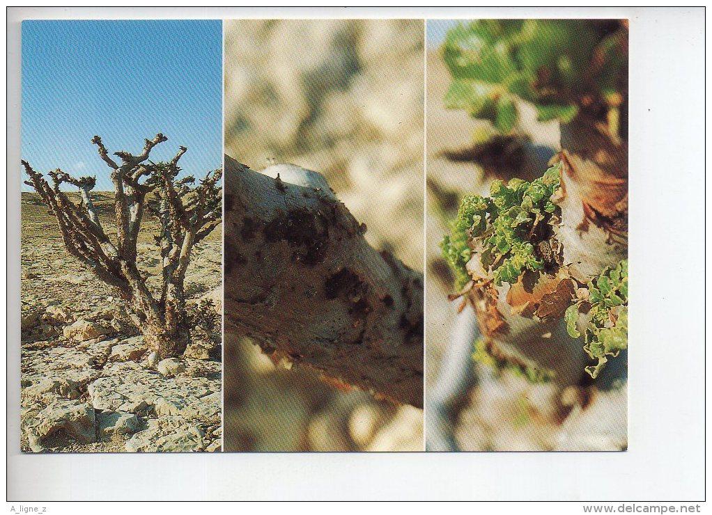 REF 292  : CPM OMAN Frankincense In Dhofar Sultanat D' - Oman