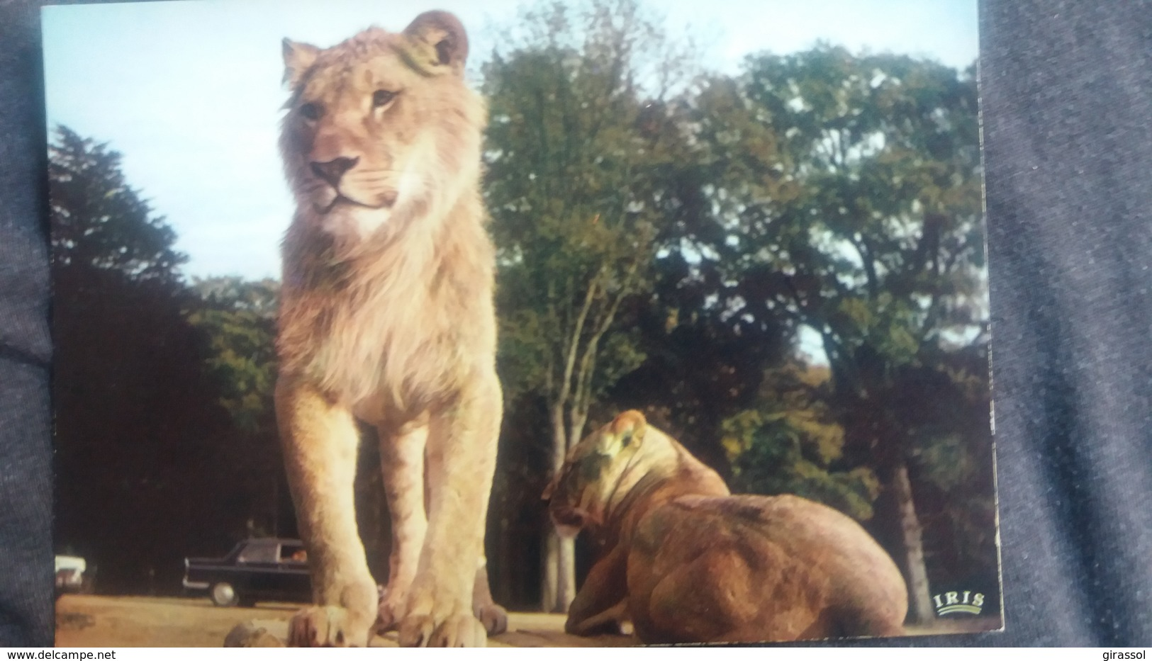 CPSM ZOO RESERVE AFRICAINE DE THOIRY LIONS GROS PLAN - Lions