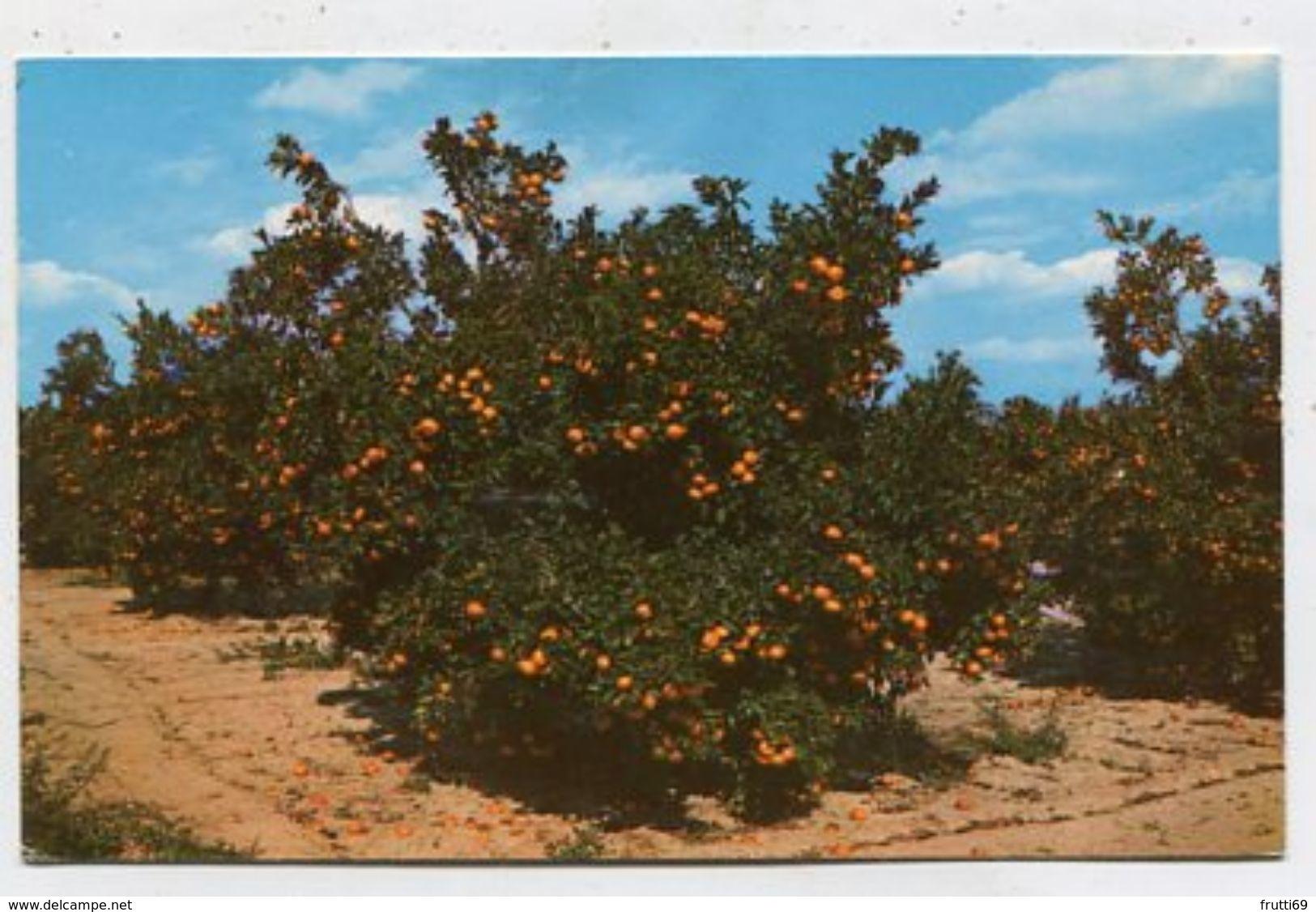 USA - AK302526 Florida - Orange Groves In Central Florida - Sin Clasificación