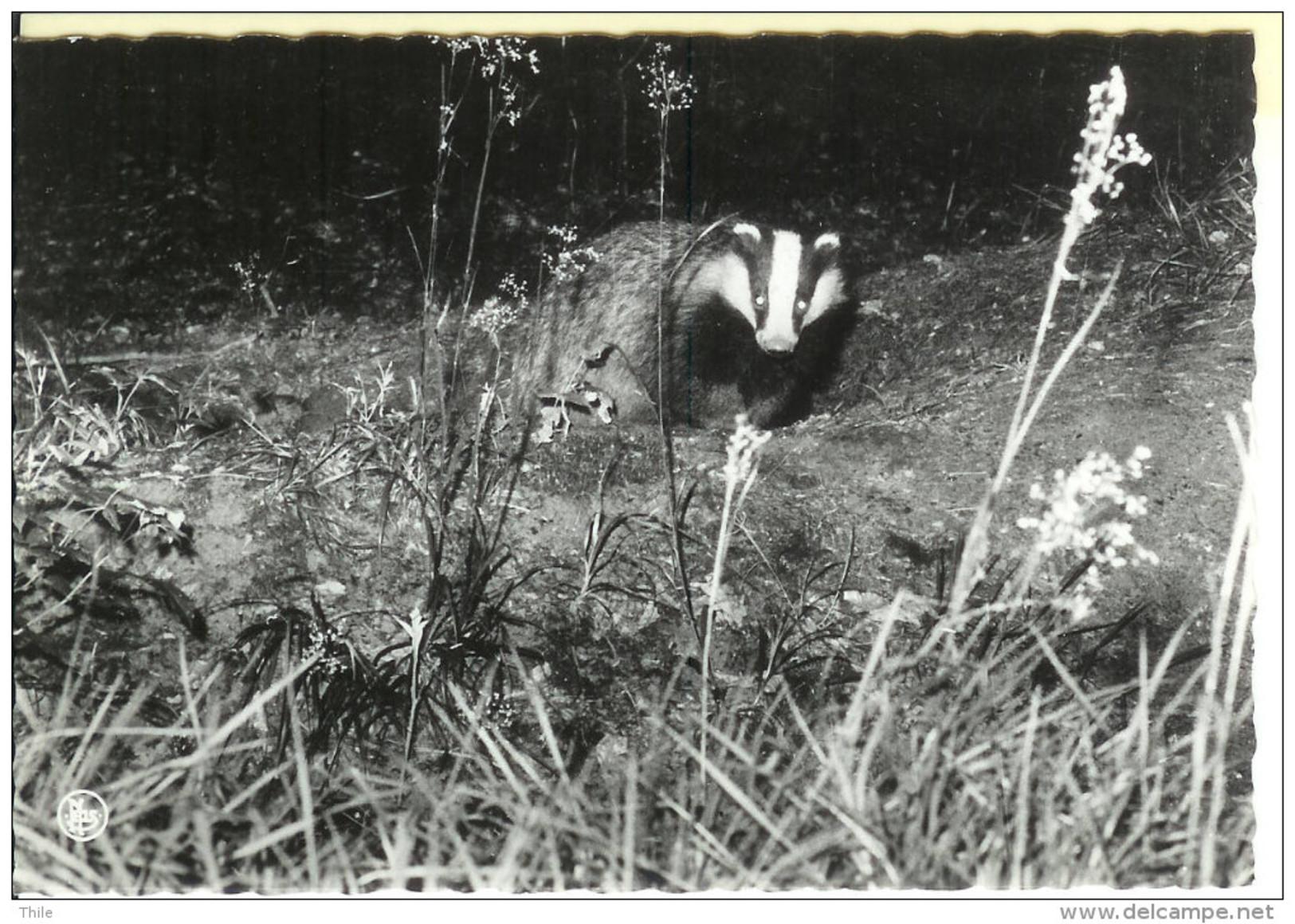 Ardennes Belges -  Un Blaireau - Animals