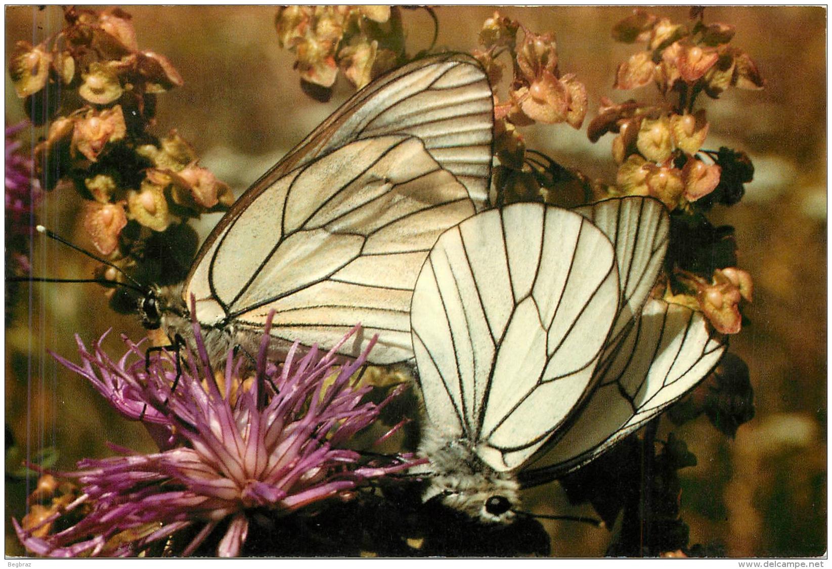 PAPILLON EXOTIQUE DE HAUTE GOULAINE - Butterflies