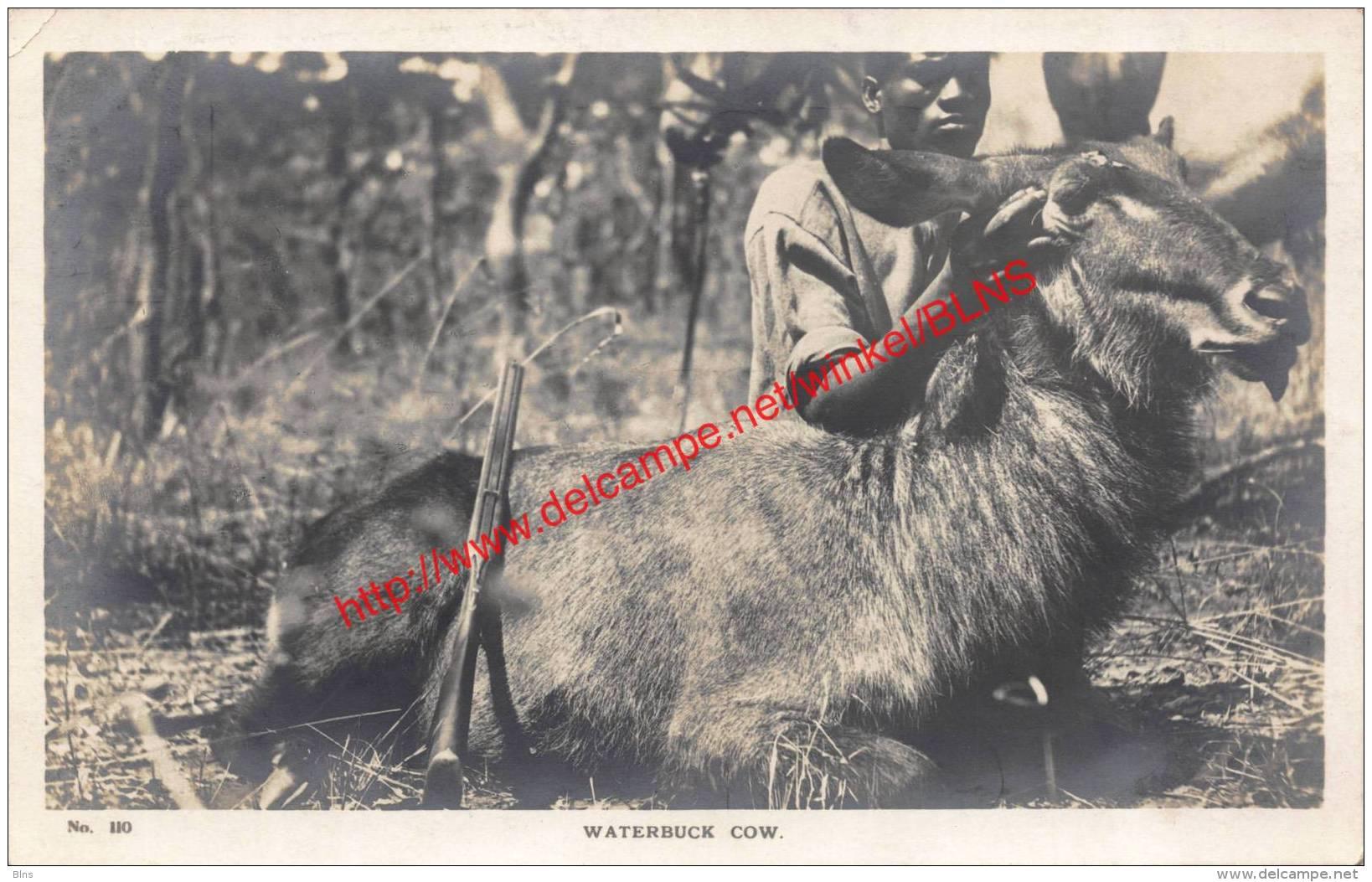 Waterbuck Cow - Rhodesia - Zimbabwe
