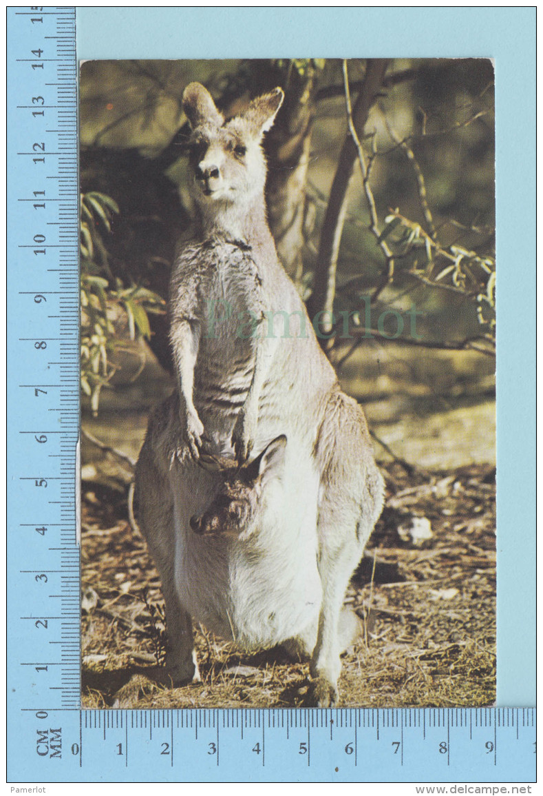 Animal - Grey Kangaroo Mother And Baby, Cover Australy 1974 On 2 Stamp By Air Mail - Animaux & Faune