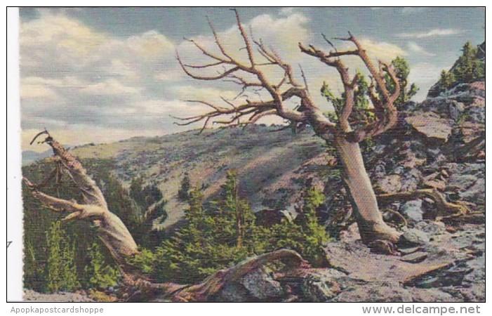 Colorado Timberline Trees On Trail Ridge Rocky Mountain National