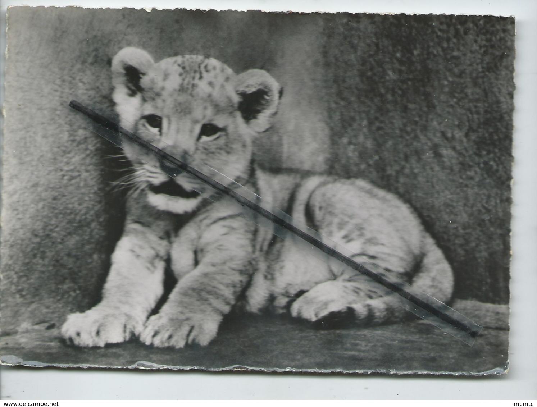 CPSM Grand Format - 417 - Lionceau  -(Afrique ) - Lion , Lions - Lions