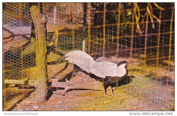 New York City Long Island Silver Pheasant At Quogue Wildlife Ref