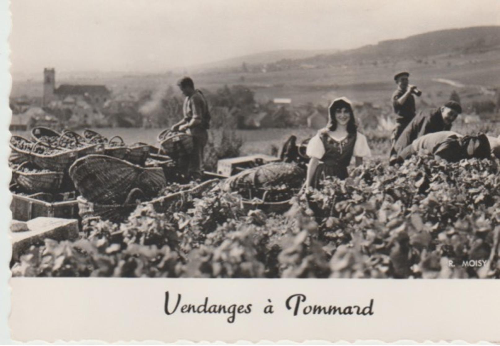 VENDANGES   À  POMMARD - France