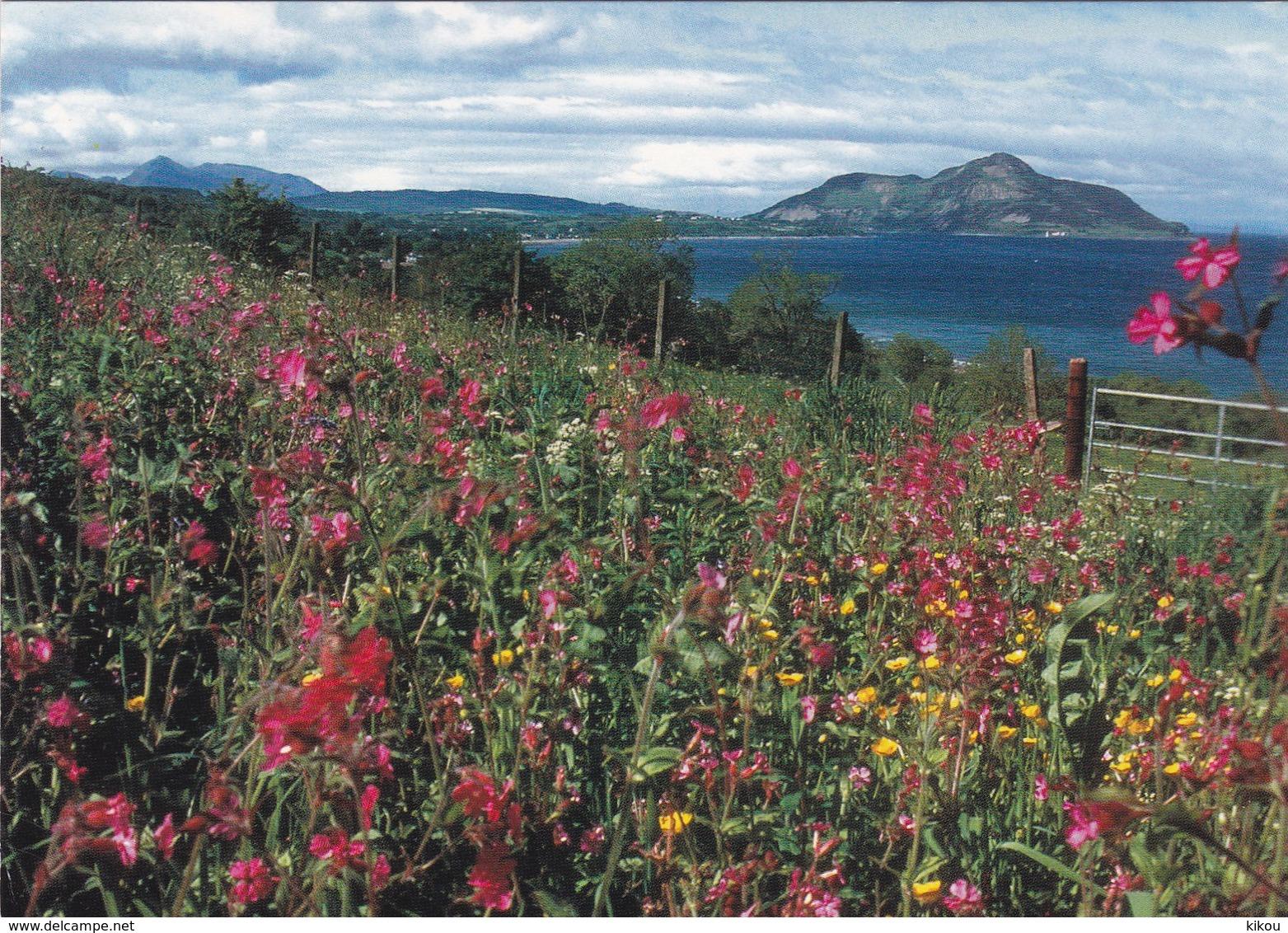 Ile D' ARRAN (Iles Britanniques) - Firth Of Clyde - Pré De Fleurs Sauvages De LARGYBEG (Wildflower Meadow By Largybeg) - - Ayrshire