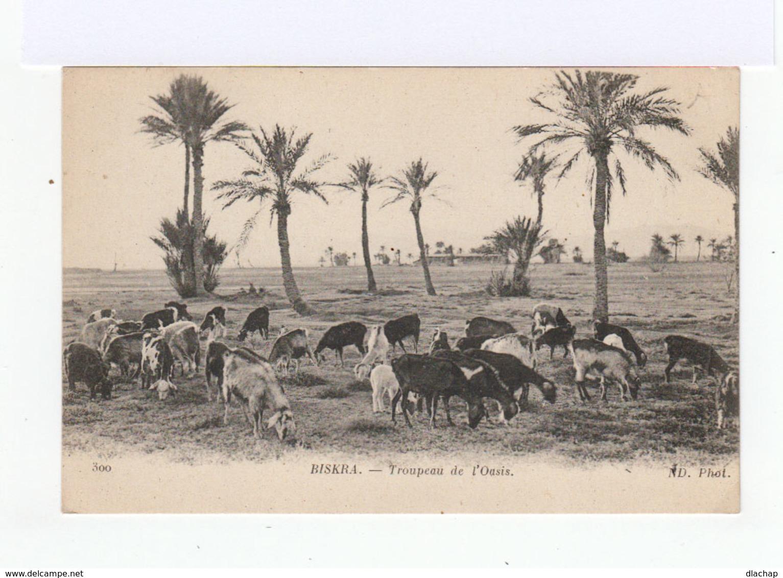 Biskra. Algérie. Troupeau Dans L'Oasis. (3136) - Elevage
