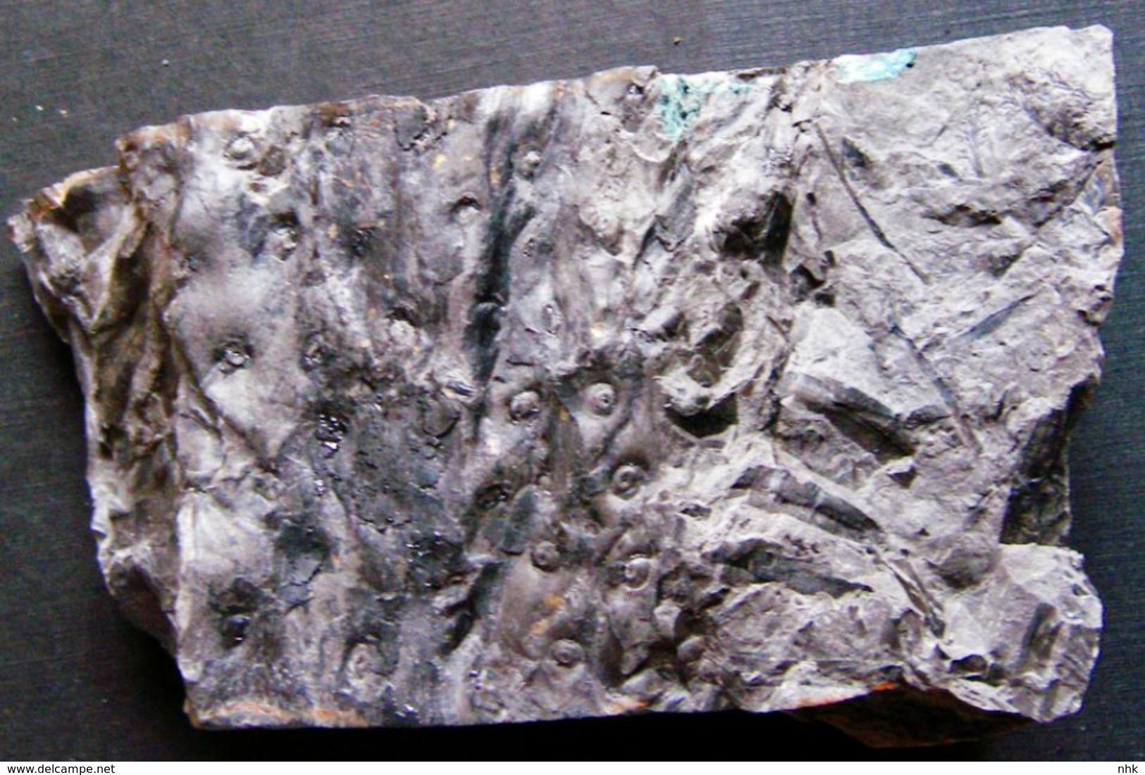 Fossiles Plante Du Carbonifère Carboniferous Plant Stigmaria Stellata Départ 1 €  !!!!! - Fossiles