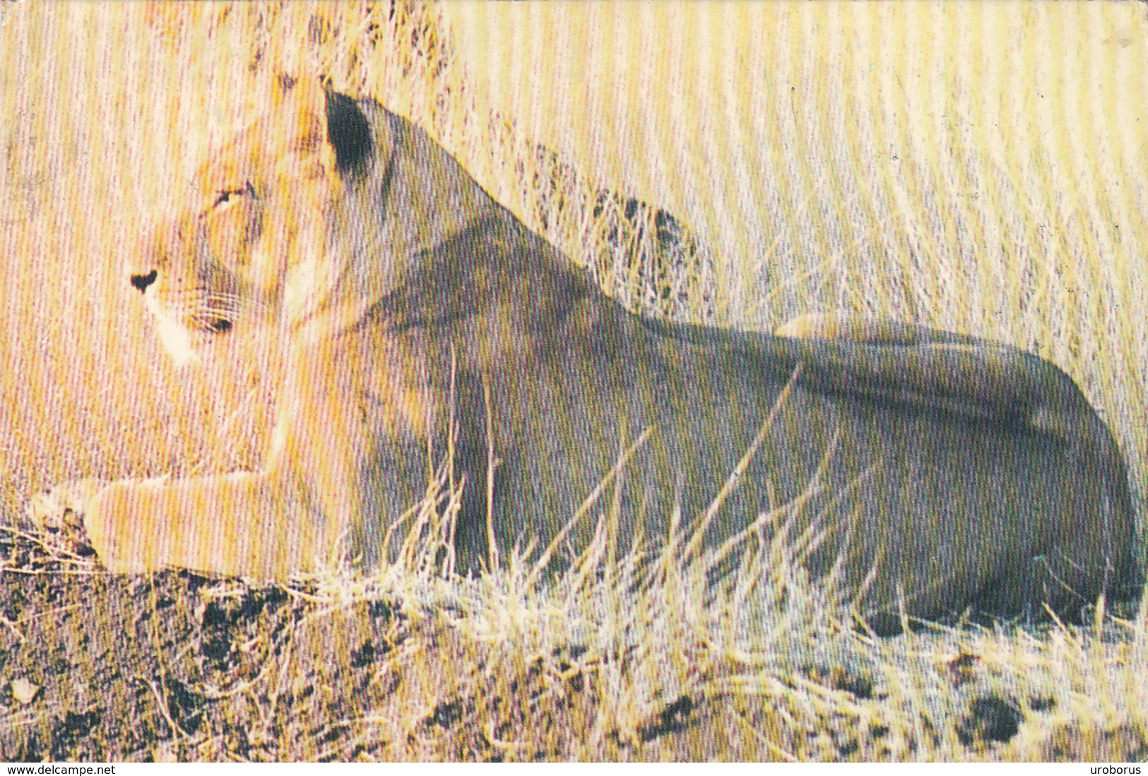 MALAWI - Lions Relaxing 1978 - Malawi