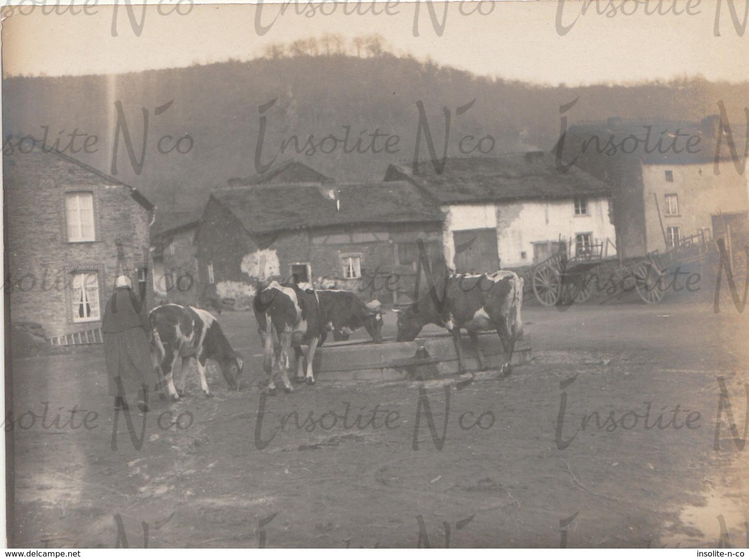 Photographie Ancienne 1902 Vaches à L'abreuvoir Du Village à  Alle S/Semois - Lieux