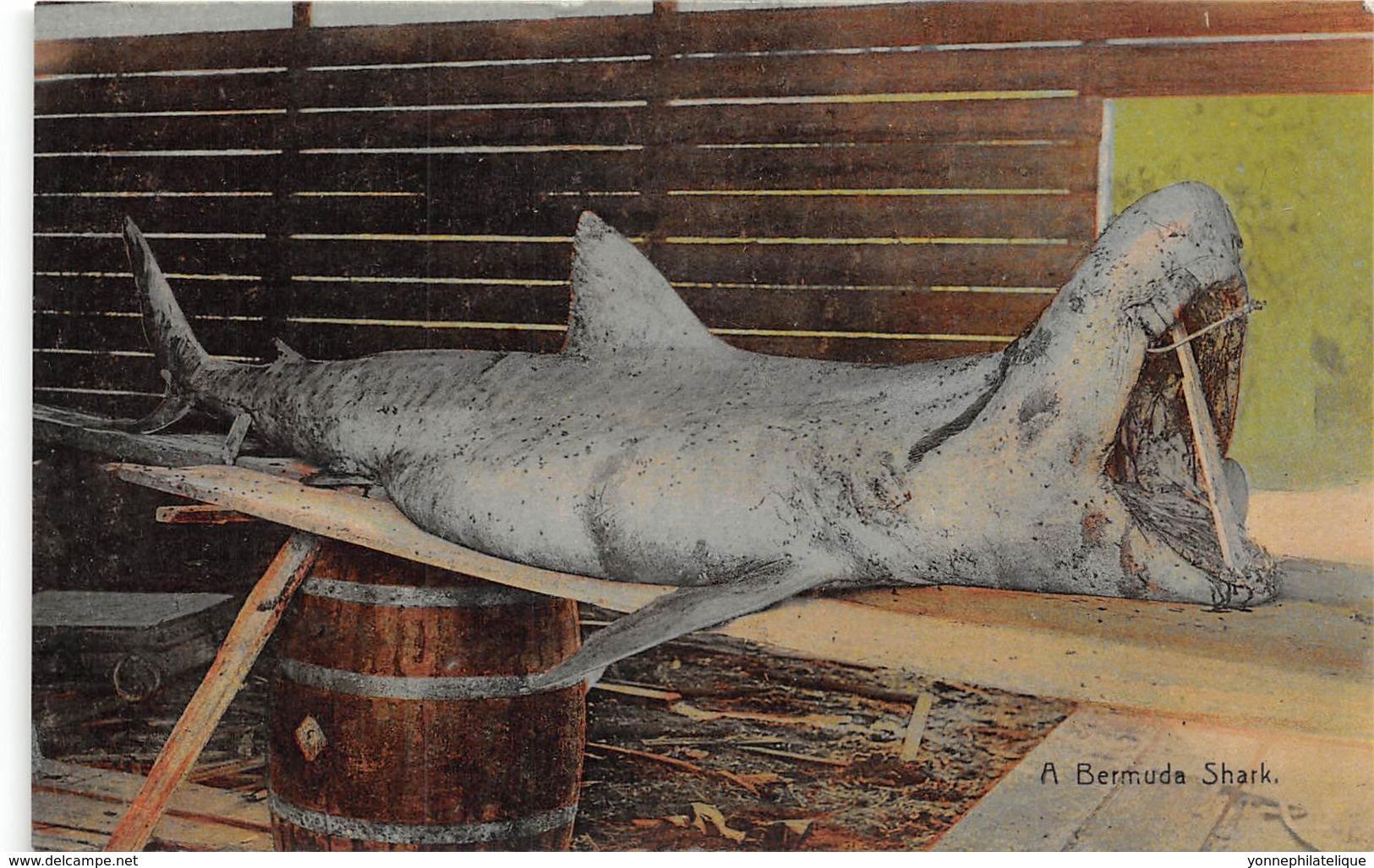 Bermuda / 09 - A Bermuda Shark - Bermudes