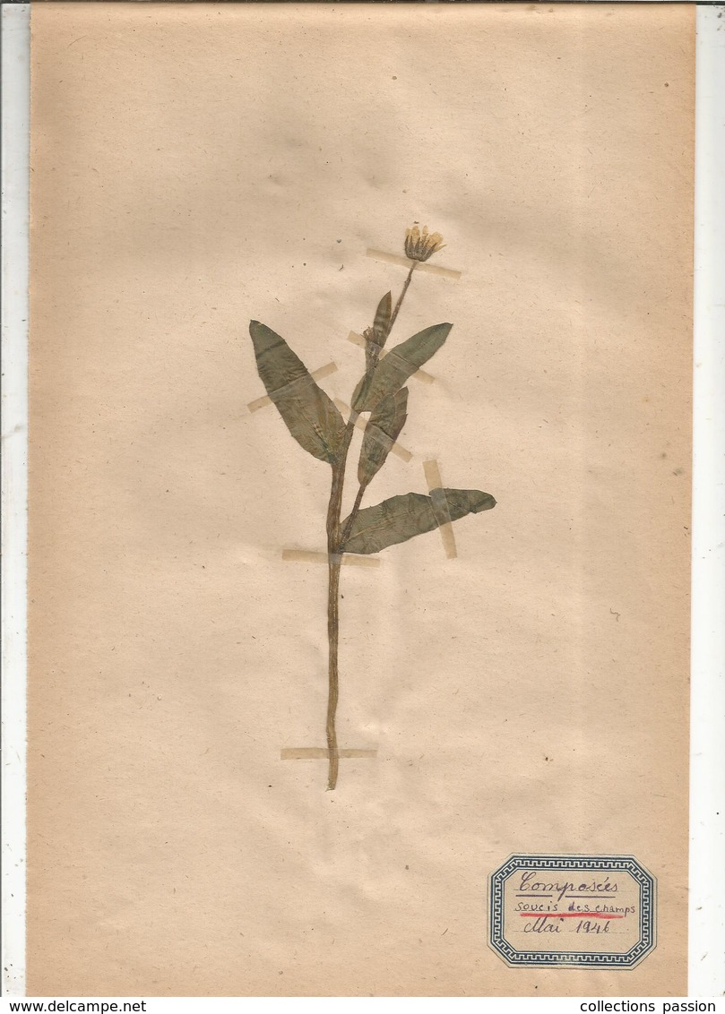 Herbier Véritable,fleurs Séchés, 7 Planches , Famille Des COMPOSEES , 1946 , 8 Scans, Frais Fr 3.35 E - Autres Collections