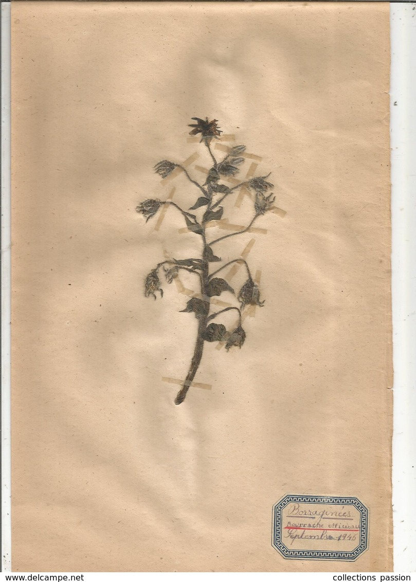 Herbier Véritable,fleurs Séchés, 3 Planches , Famille Des BORRAGINEES , 1946 , 4 Scans, Frais Fr 2.35 E - Autres Collections