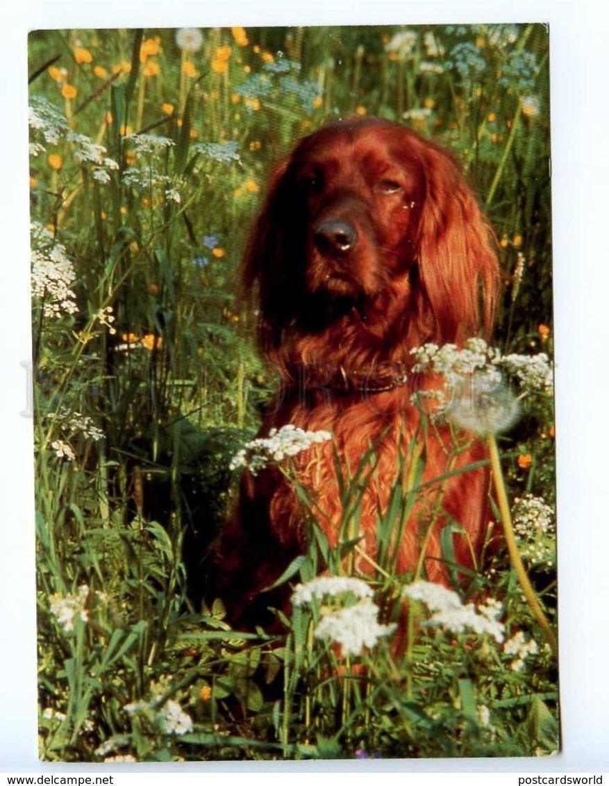 221854 FINLAND Irish Setter Dog On Field Old Photo RPPC - Dogs