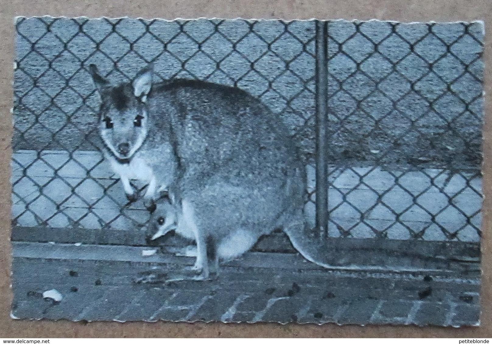 (K17) - Dierentuin Antwerpen - Kortstaart Kangaroe / Jardin Zoologique Anvers - Kangourou à Queue Courte - Antwerpen