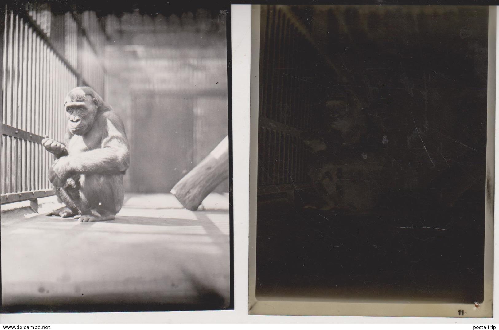 Gorilla Foto + Celluloid Negatives, Of Various Animals, Big Cats, Birds, Zoo, Bears, Monkeys Mono Aap - Fotos