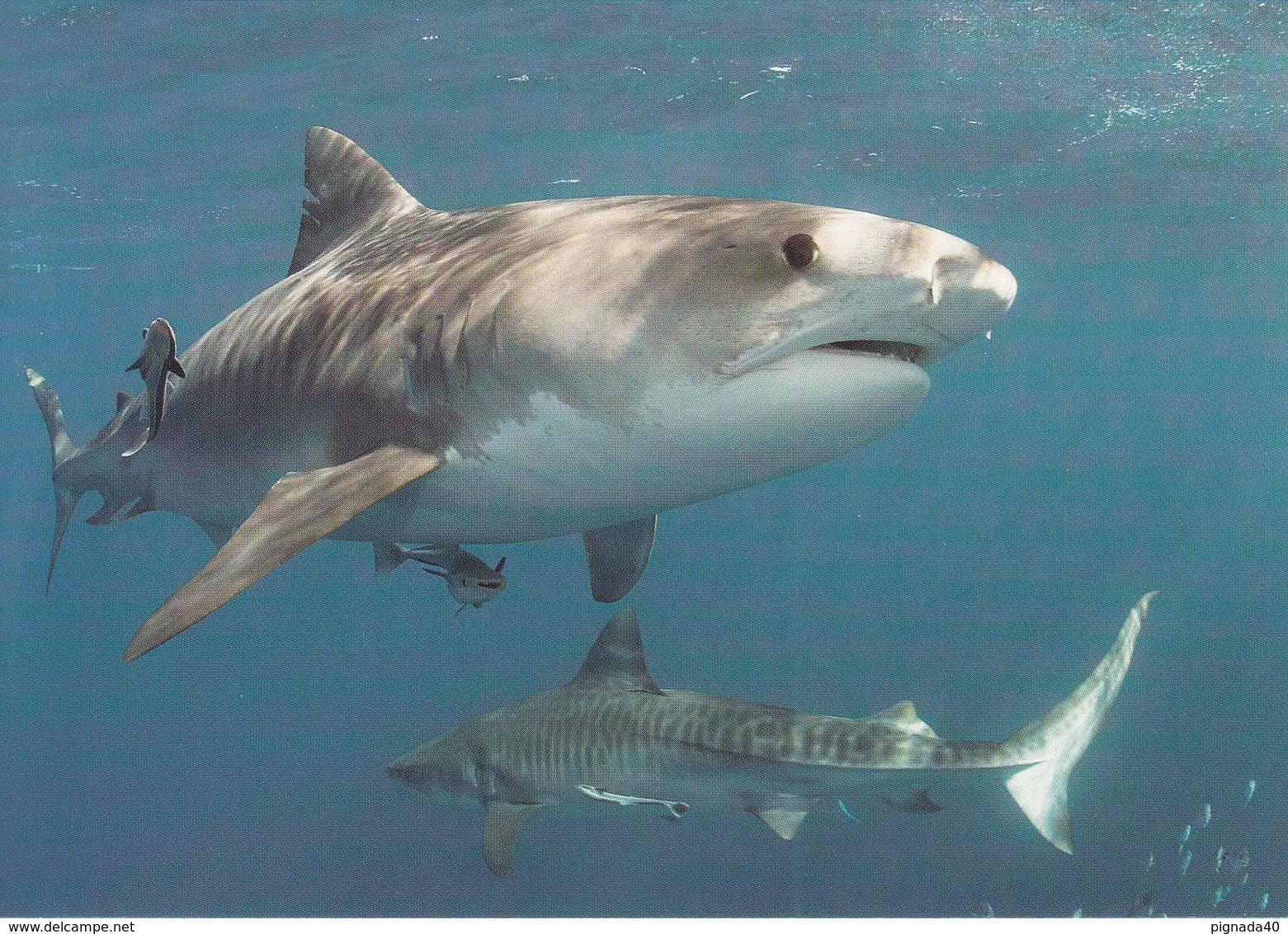 Cp , ANIMAUX , Requin-tigre - Vissen & Schaaldieren
