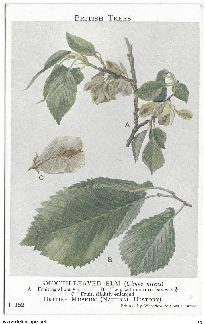 Smooth-Leaved Elm Twig Leaves Fruit - British Museum Natural History - Waterlow & Sons Unused - Museos