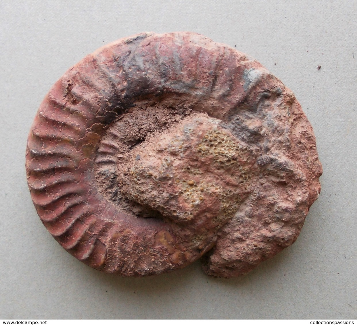 - Ammonite Fossilisée. 93g - - Fossiles