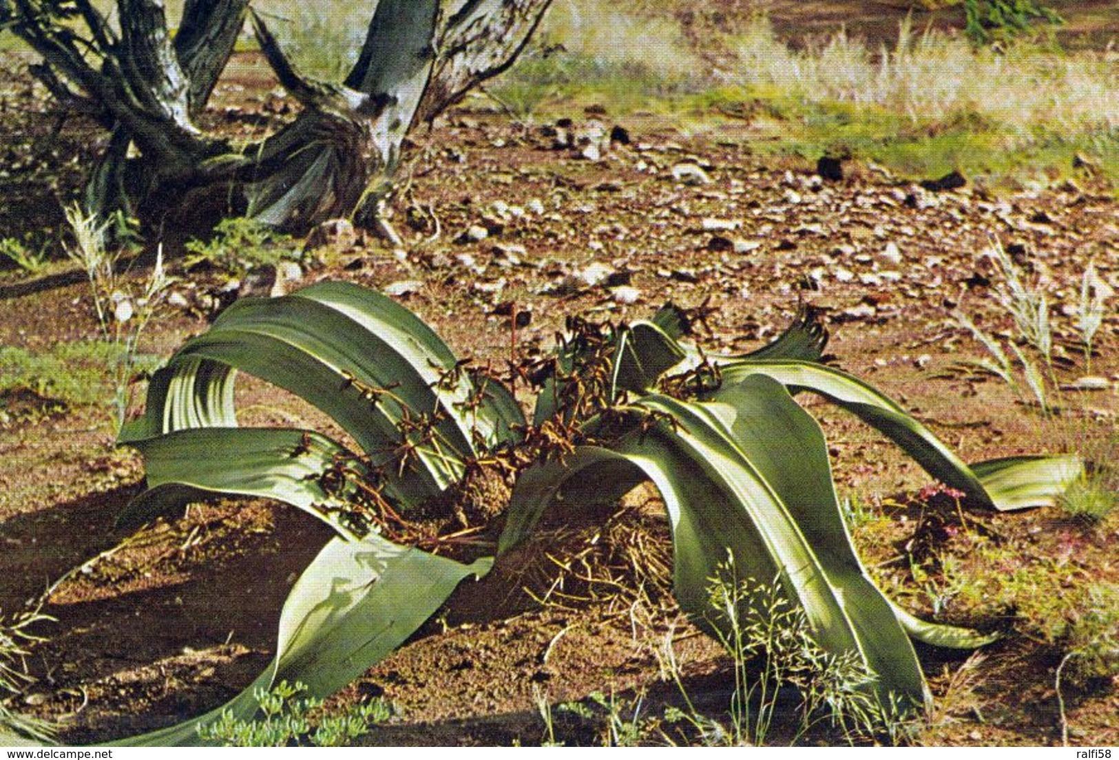 1 AK Namibia * Welwitschie Pflanze Bis 500 Jahre Alt, D. Welwitschia-Ebene Steht Auf D. Tentativliste Für DasUNESCO Erbe - Namibie