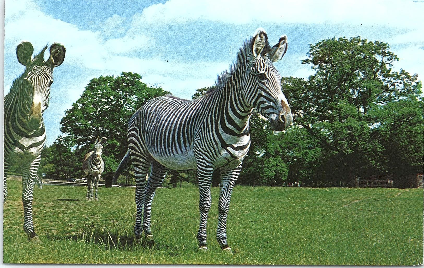 Animals - Grey Zebra - Zèbres