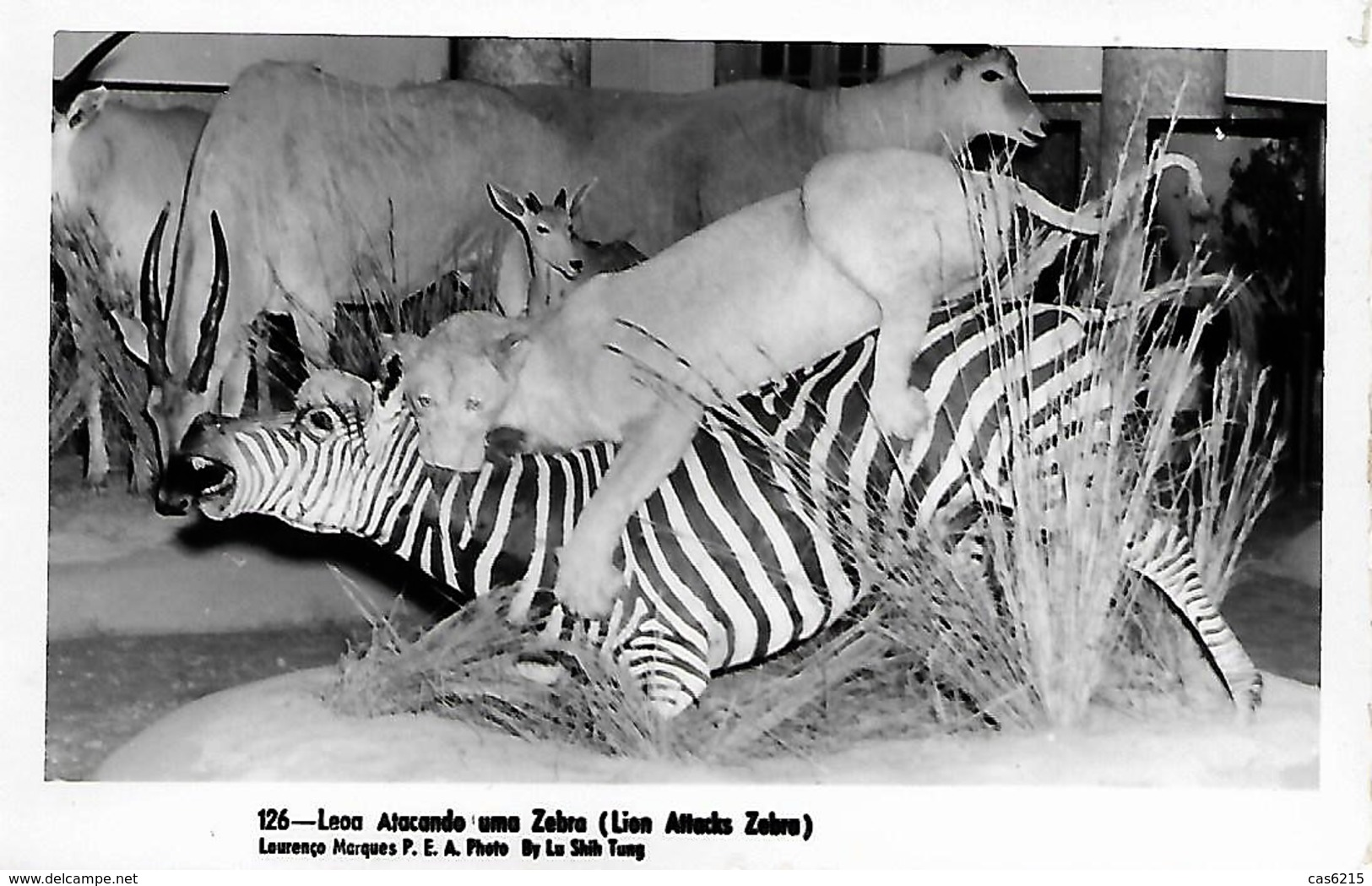 "Afrique Africa Mozambique Fauna ""lioness Attacking A Zebra"" B/W - Lions"