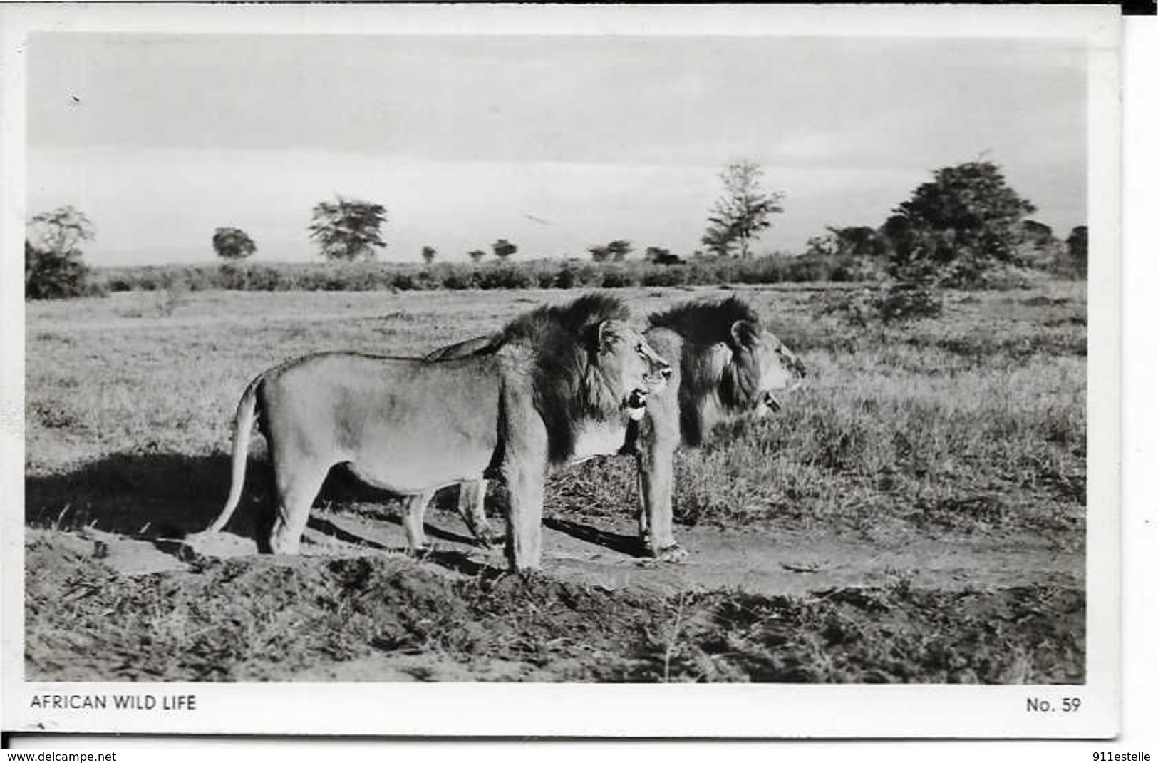 AFRICAN WILD  LIFE   LIFE - Lions