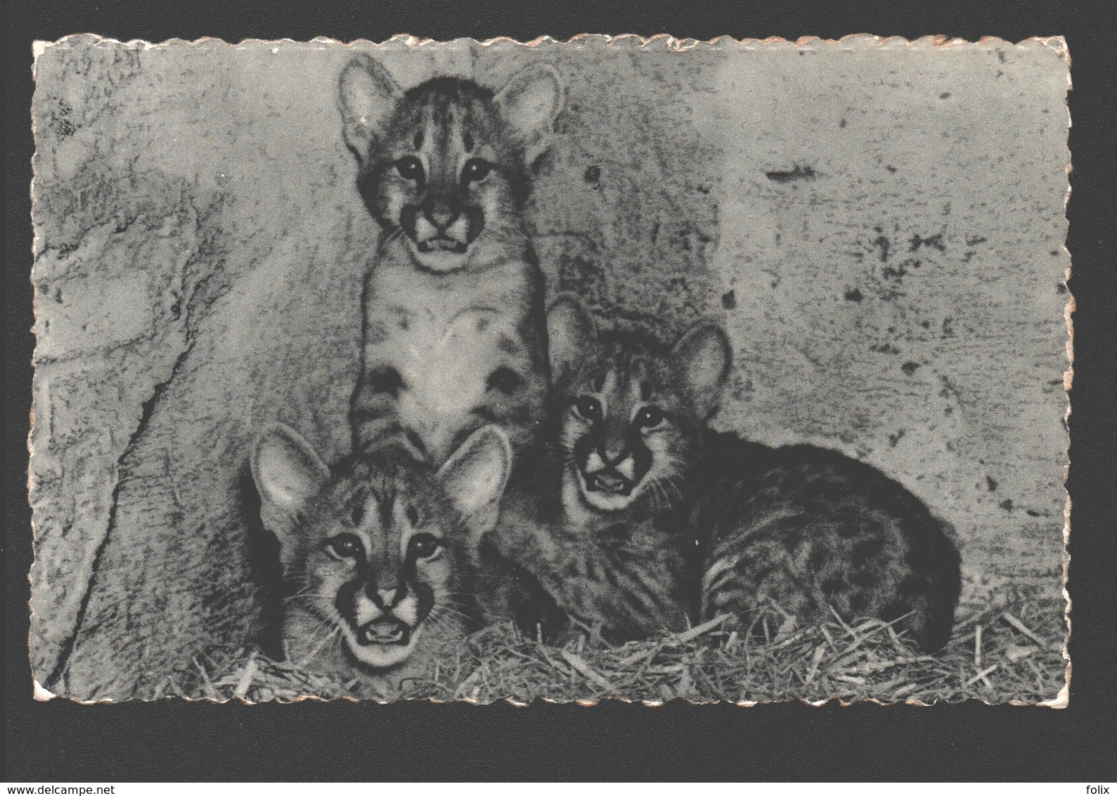 Poema / Puma - Poema's, In De Zoo Geboren / Pumas - Dierentuin Antwerpen - 1955 - Animaux & Faune
