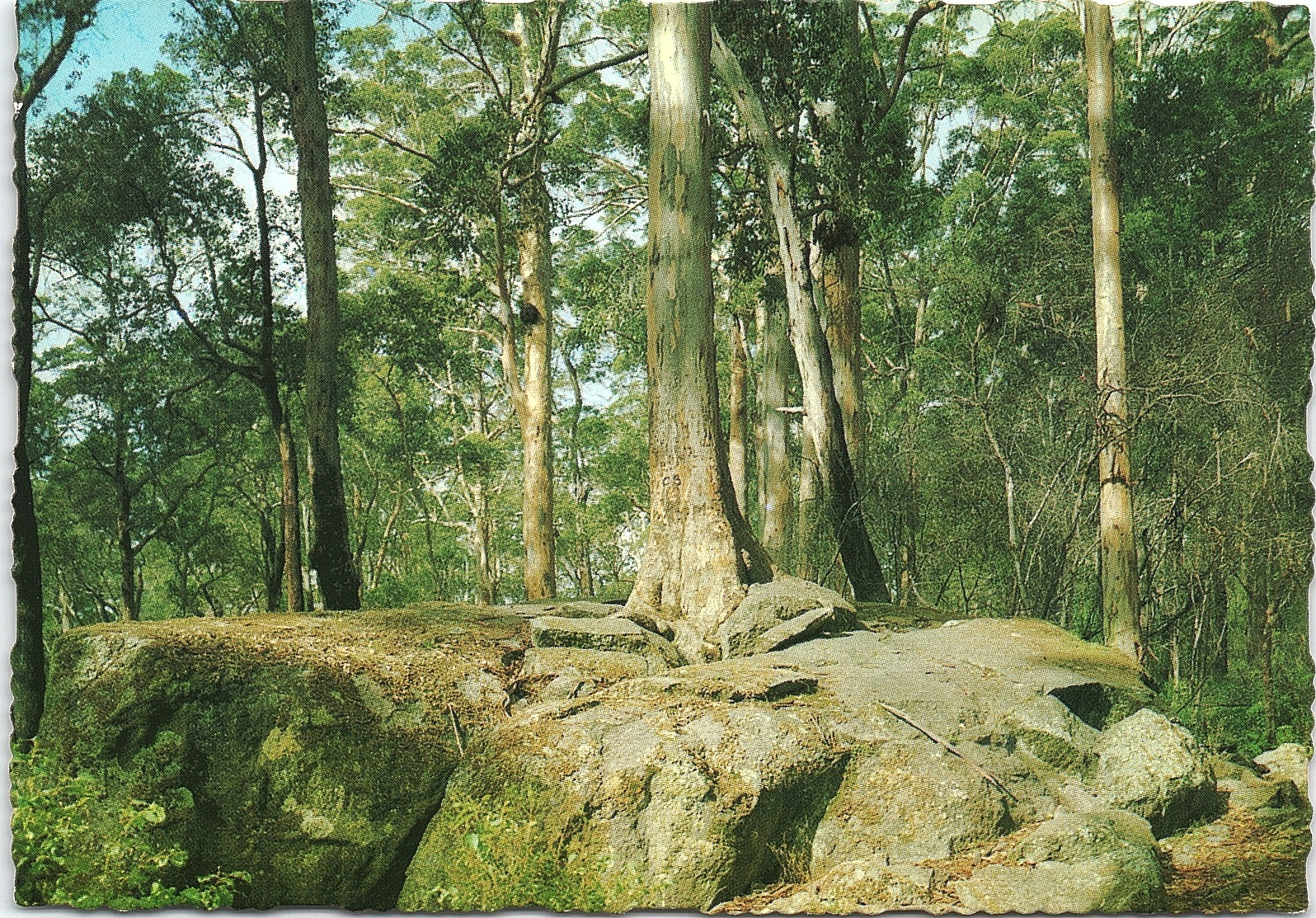 Tree In The Rock, Porongurup, Western Australia - Australie