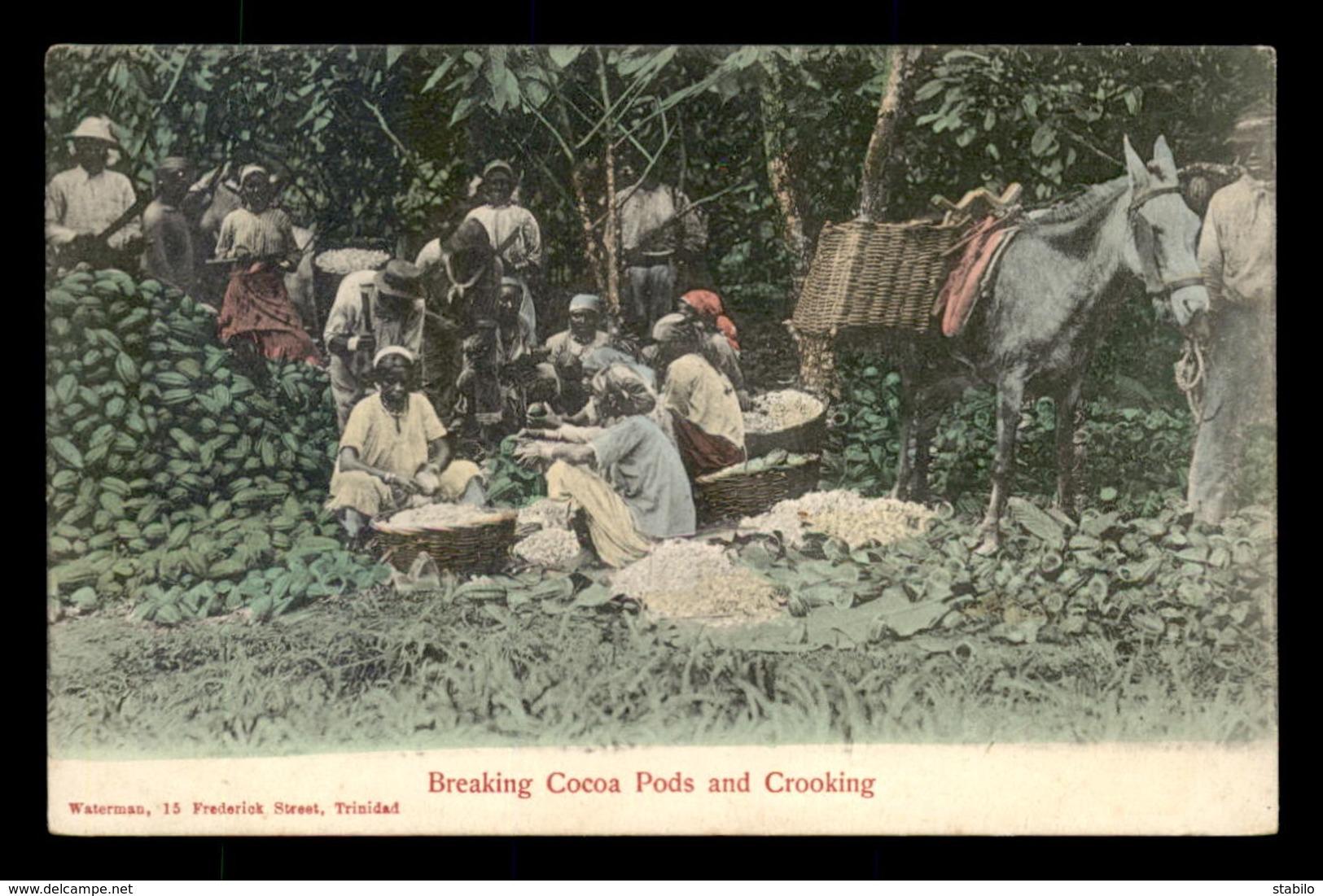 TRINIDAD ET TOBAGO - BREAKING COCOA PODS AND CROOKING - Trinidad