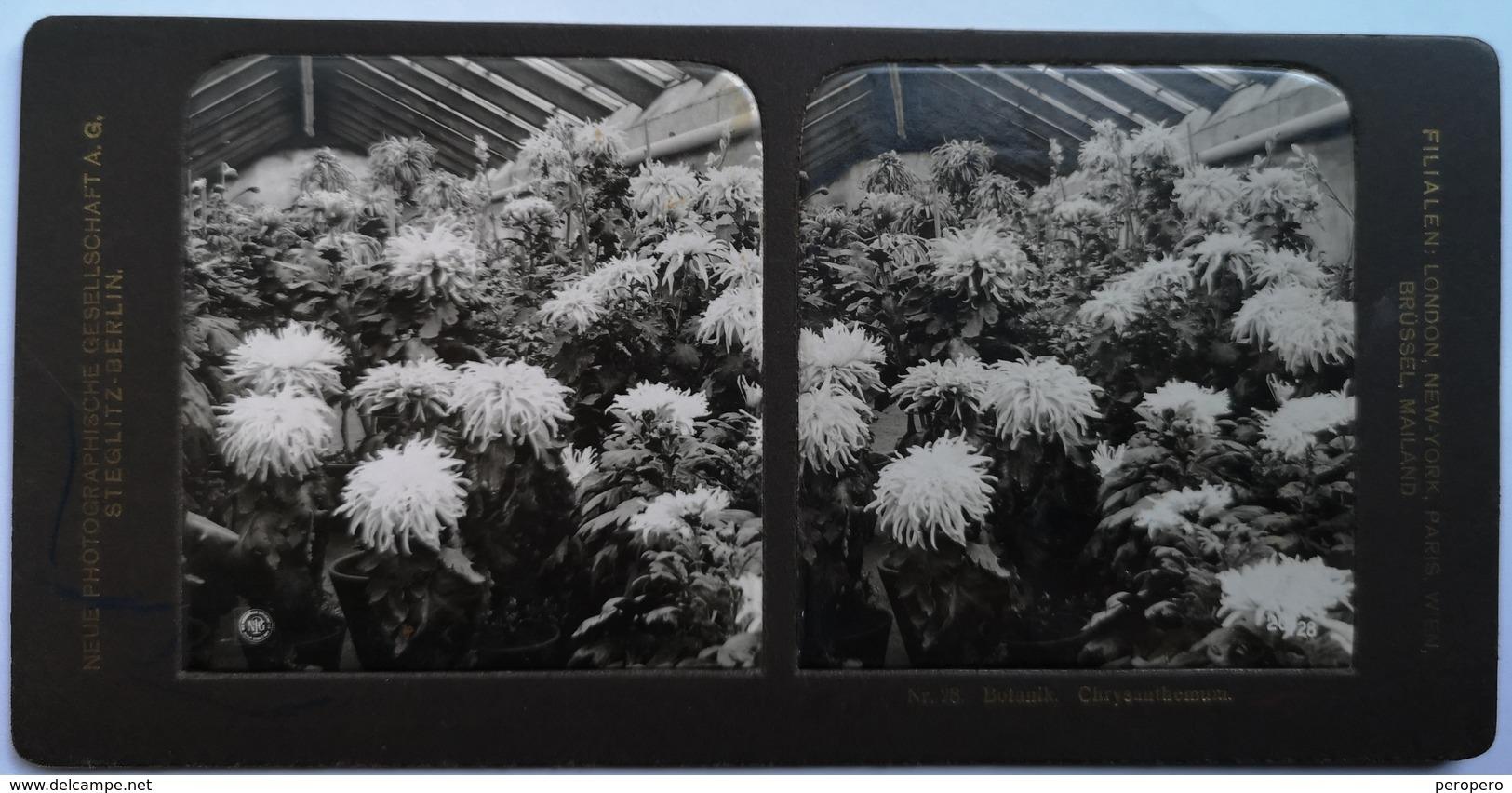 PHOTO STEREOSCOPIC STEREO BOTANIK CHRYSANTHEMUM - Stereo-Photographie