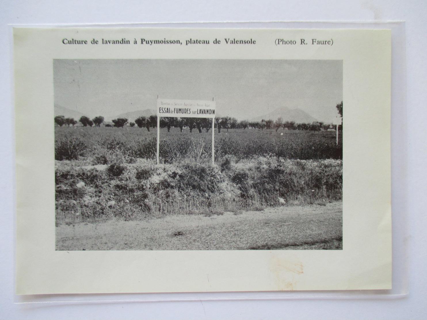 (1959) PUYMOISSON  - Essai De Fumures Sur Lavandin -  Coupure De Presse Originale (encart Photo) - Documents Historiques