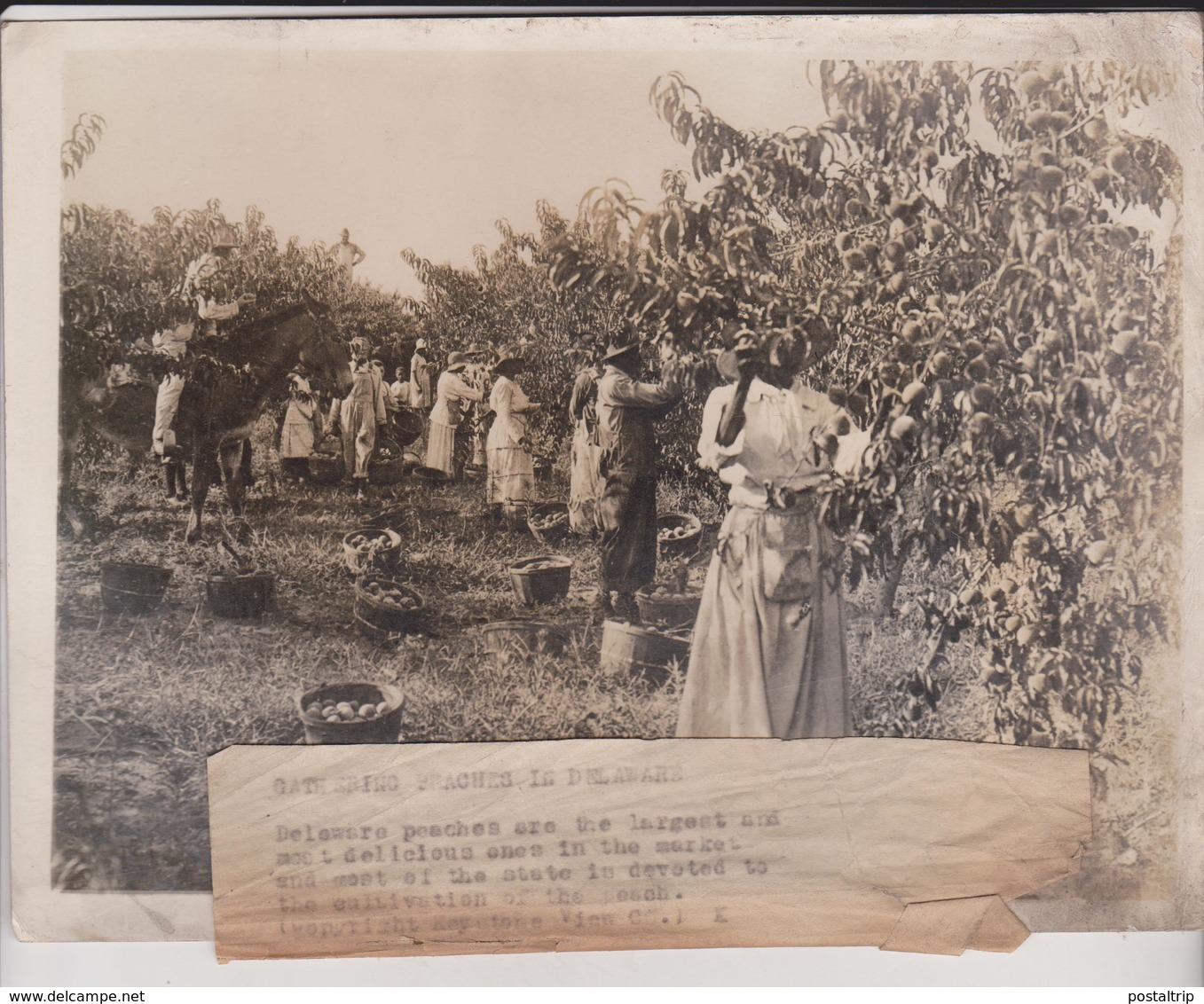 PEACHES IN DELAWARE    21*17CM Fonds Victor FORBIN 1864-1947 - Profesiones