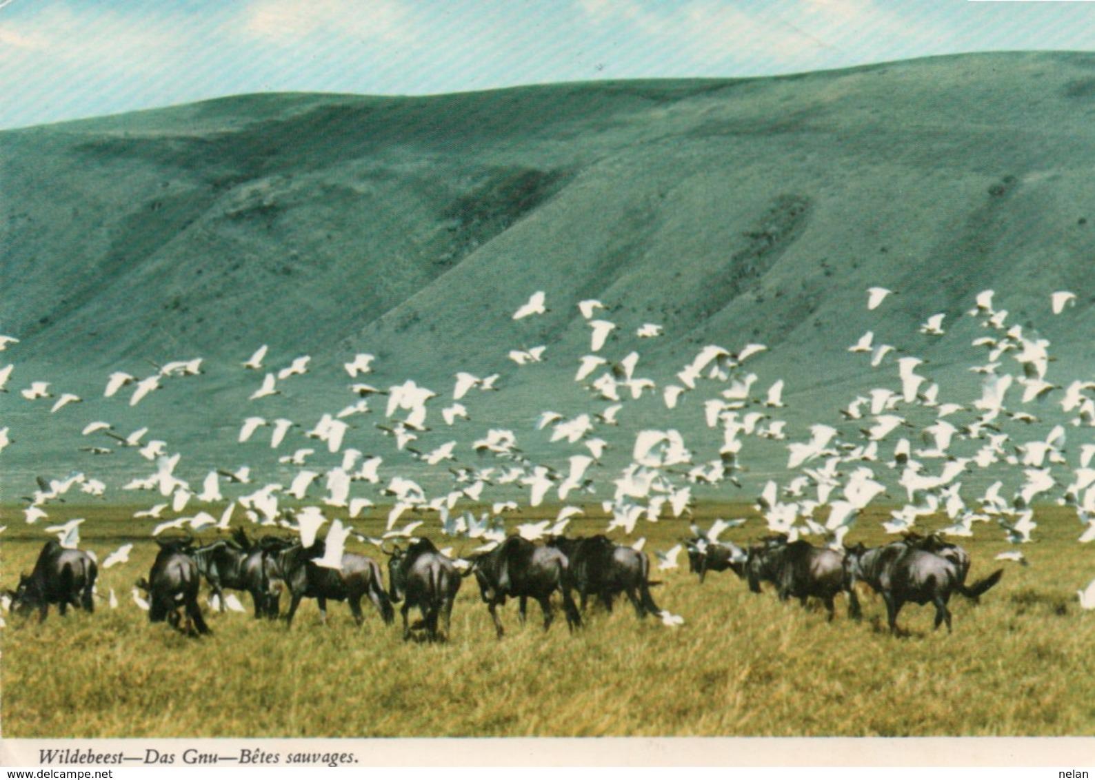 KENYA-BLUE WILDEBEEST-BRINDLED GNU- VIAGGIATA     FG - Kenia