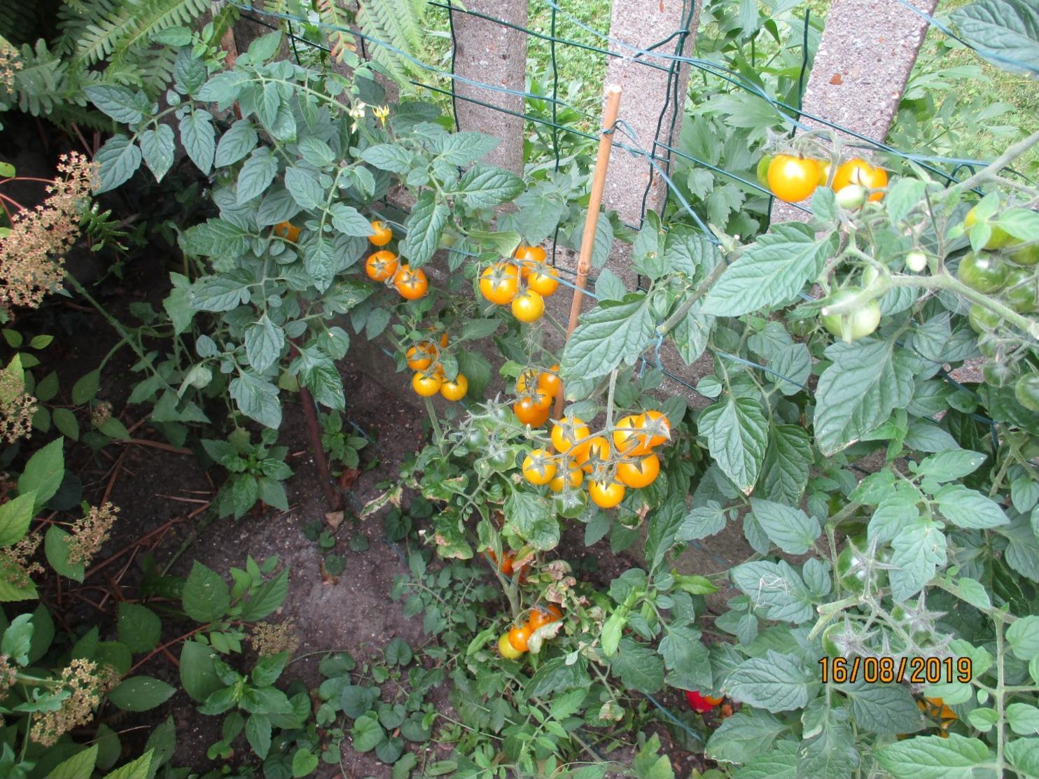 25 Graines De Tomates Cerise Ronde Rouge Et 25 Jaune Cultivé Bio En Serre Et En Pleine Terre Sans Bouillie Bordelaise - 2. Semi