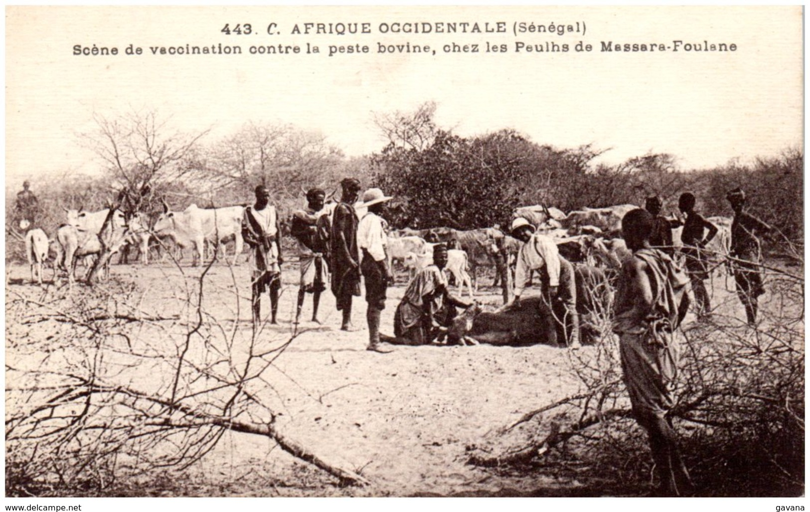 SENEGAL - Scène De Vaccination Contre La Peste Bovine, Chez Les Peulhs De Massare-Foulane - Senegal