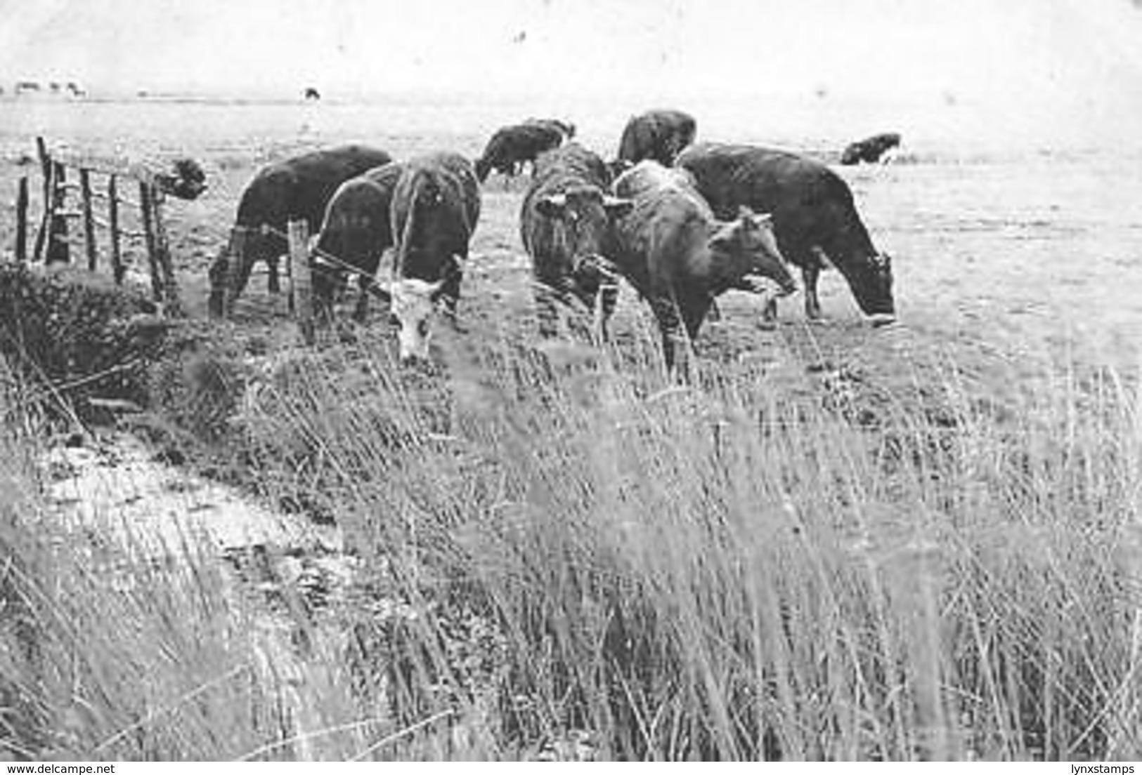 Belgium Zoutenaaie Belgie's Kleinste Dorp Weidelandschap Cows Animals - Otros