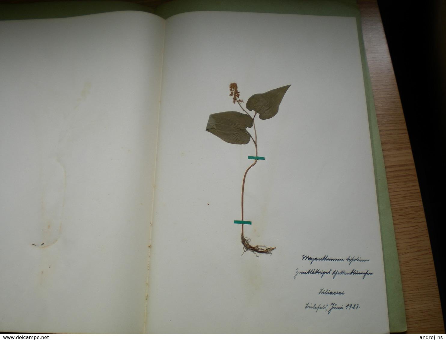 Old Herbarium Liliaceae 1927 3 Flowers - B. Flower Plants & Flowers