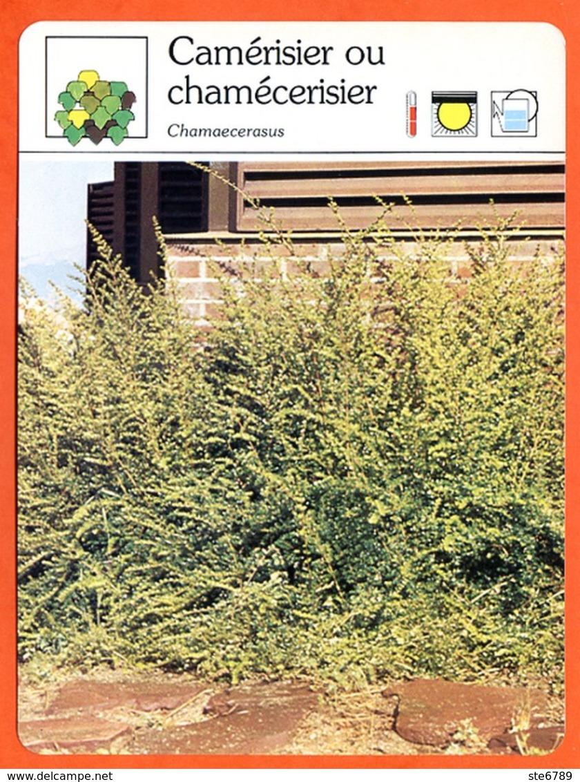 CAMERISIER OU CHAMECERISIER  Arbuste Fiche Illustrée Documentée  Arbustes - Fichas Didácticas