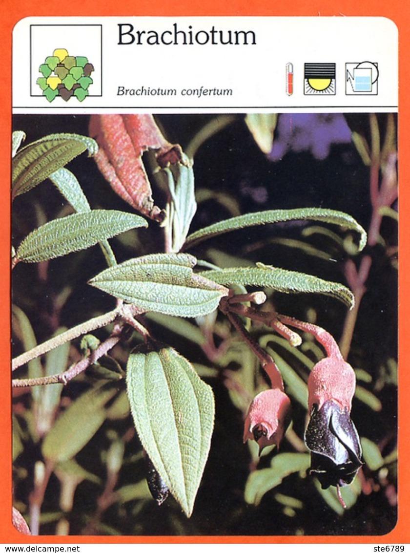 BRACHIOTUM  Arbuste Fiche Illustrée Documentée  Arbustes - Schede Didattiche